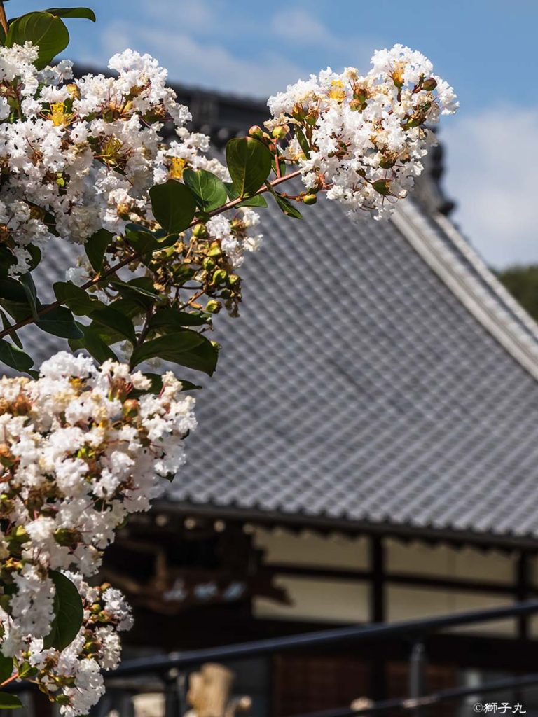 龍吟山 天猷寺 白い百日紅の花